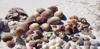 Shelling on Caladesi Island