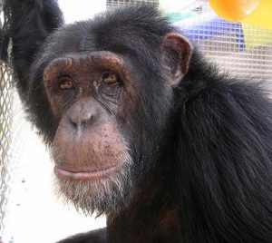 Visit Harry at the Suncoast Primate Sanctuary