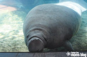 Get up close and personal with the manatees at Mote.