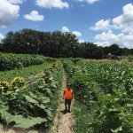 Get Lost in a Maze of Sunflowers at Sweetfields Farm