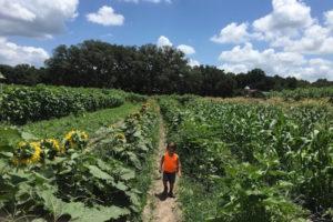 Sweetfields Farm sunflower fields