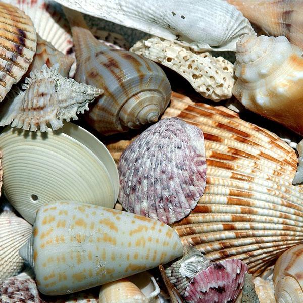 Shells on Sanibel